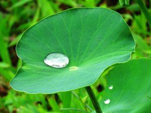 Wassertropfen auf einem Lotosblatt