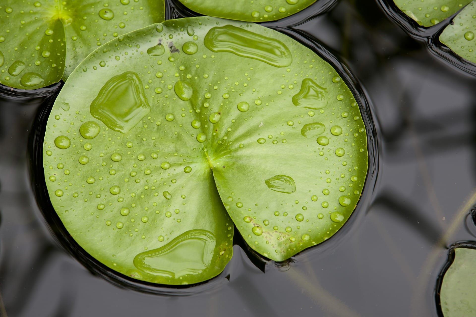 Grosses Lotosblatt mit Wassertropfen